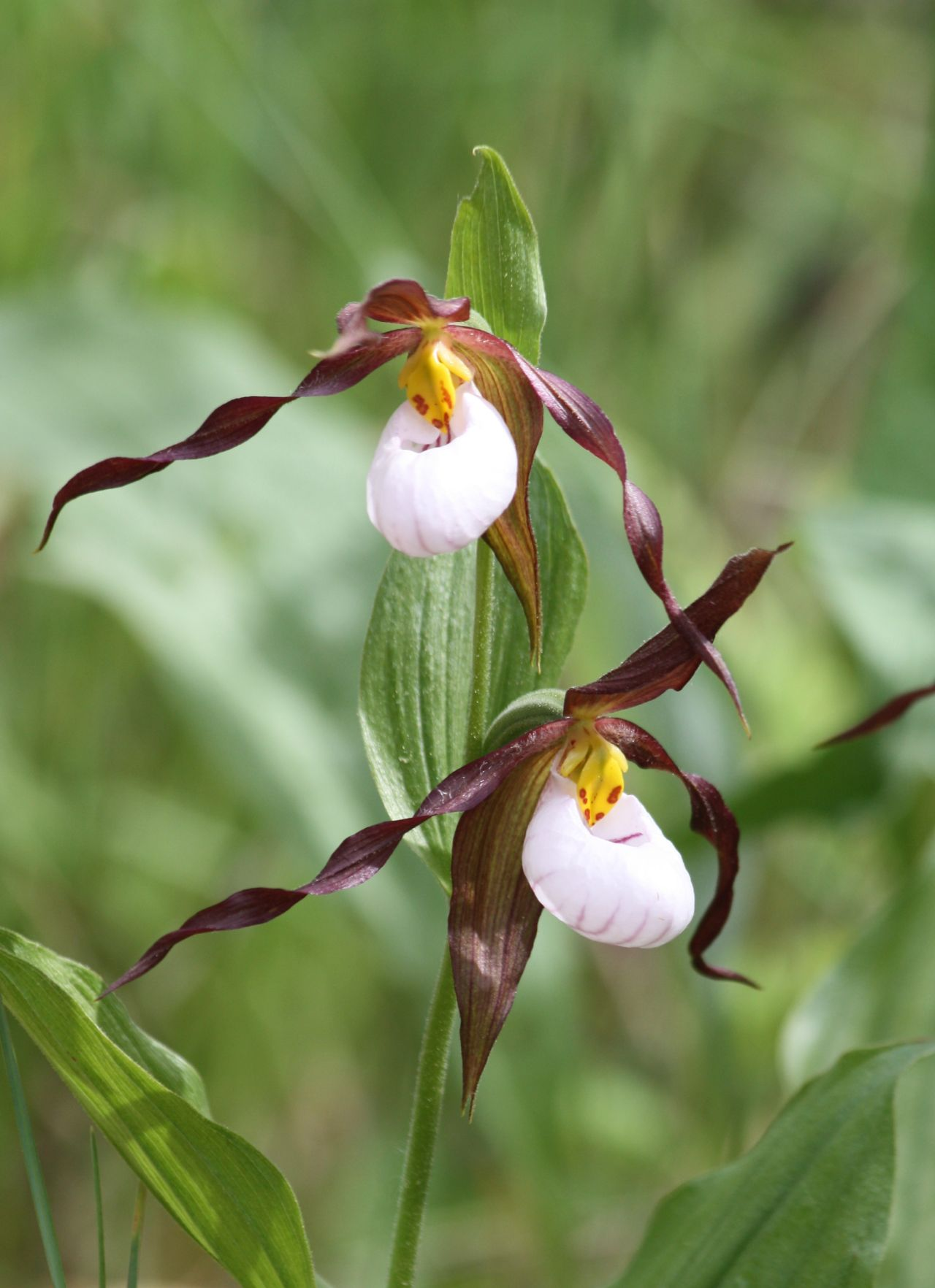 A scape of C. montanum bearing two flowers.
