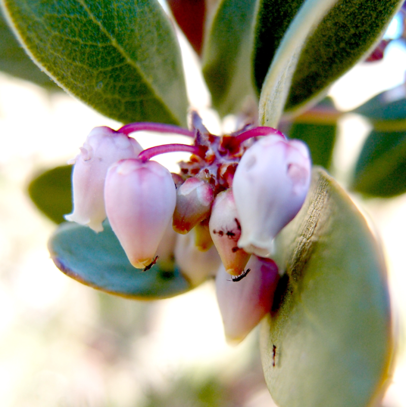 Thrips on manzanita flowers