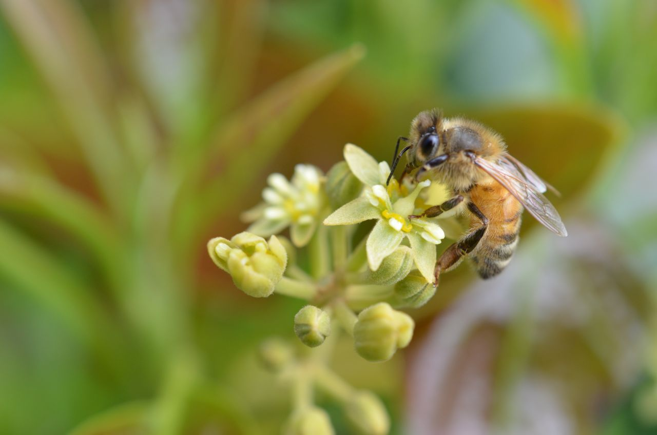A timelapse camera system, used to study avocado (Persea americana) flowering, captures a honey bee (Apis mellifera) visiting a female-phase 'Hass' flower.