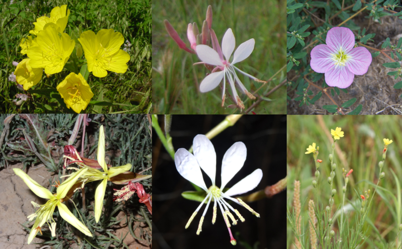 Examples of Oenothera floral diversity