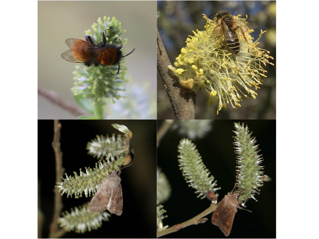 Insect pollinators of Salix caprea