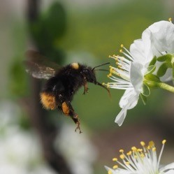 Early bumblebee visiting plum flowers